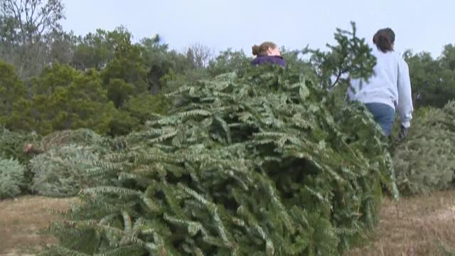 Muddy start to Christmas tree recycling event