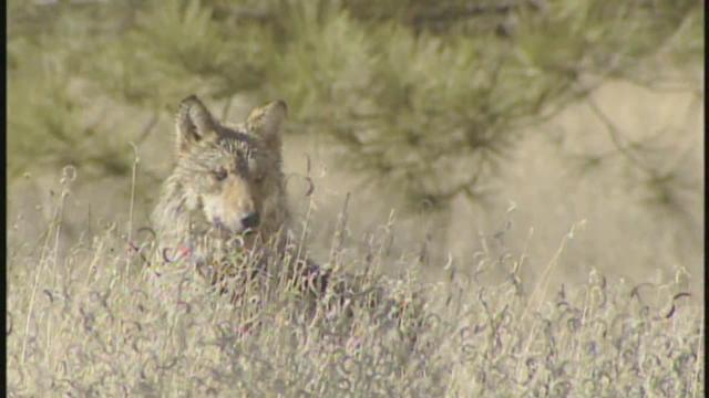 New rules expand roaming area for endangered Mexican gray wolf